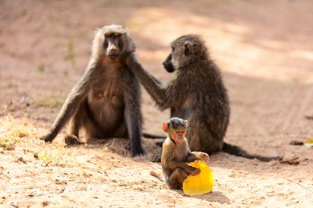 Baboon monkey family in Samburu national park  Kenya