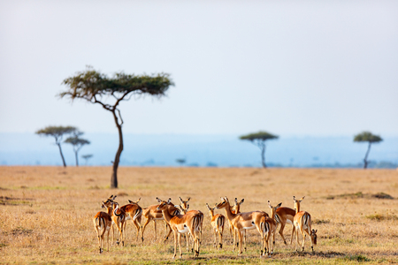 Groep impalalopenen in Masai Mara-safaripark in Kenia Stockfoto