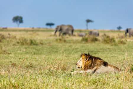 Male lion lying in grass in savanna in Africa