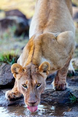 Close up of lioness drinking water after feeding