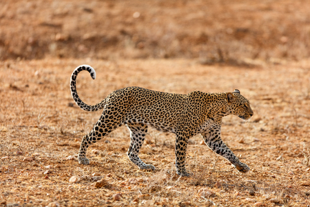 Wild leopard in morning light in Kenya Africa