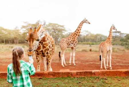 reserve: Cute little girl feeding giraffes in Africa