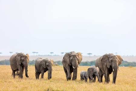 Léphants dans un parc safari au Kenya en Afrique Banque d'images - 85190961