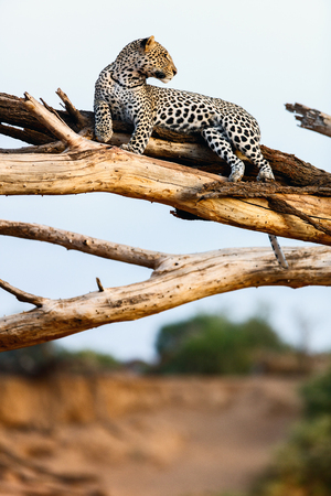 Beautiful male leopard on a tree in Kenya Africa Stock Photo