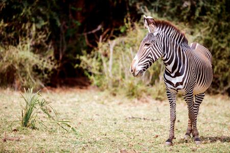 Grevy�s zebras in Samburu national reserve in Kenya Stock Photo