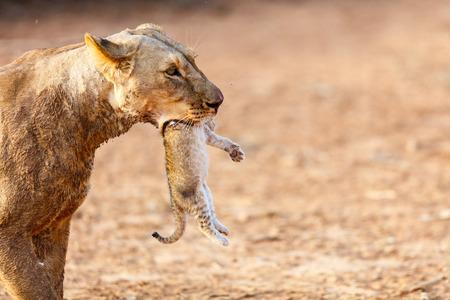 Sluit omhoog van leeuwin dragende welp in haar mond in nationale reserve in Kenia