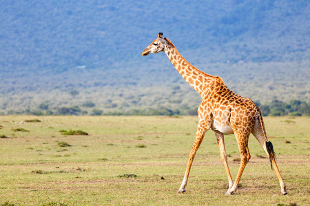Giraffe in Masai Mara safari park in Kenya Africa Stock Photo