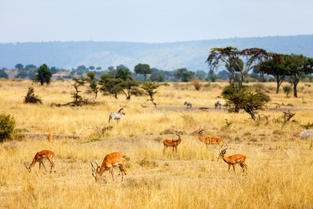 Group of impala antelopes and zebras in savanna in Masai Mara safari park Kenya