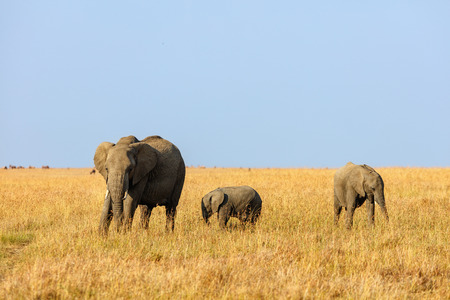 Elephants in safari park in Kenya Africa Stock fotó - 85498888