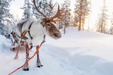 フィンランドのラップランドの冬の森のトナカイ