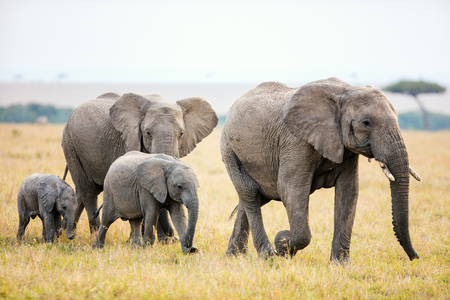 Elefanten im Safaripark in Kenia Afrika Standard-Bild - 89192994