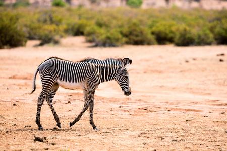 Grevys baby zebra in Samburu national reserve in Kenya Stock Photo