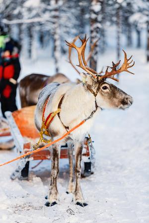 Reindeer in a winter forest in Finnish Lapland Banco de Imagens