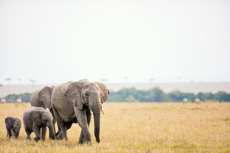 herbivores: Elephants in safari park in Kenya Africa