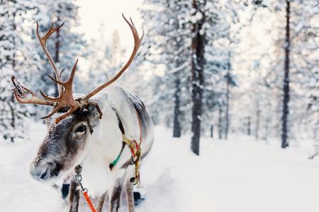 Reindeer in a winter forest in Finnish Lapland Stock fotó