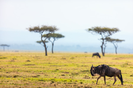Wildebeests in Masai Mara National-park in Kenia Stockfoto - 89192202