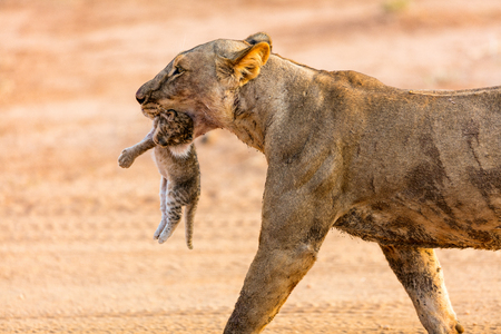 Close up of lioness carrying cub in her mouth in national reserve in Kenya