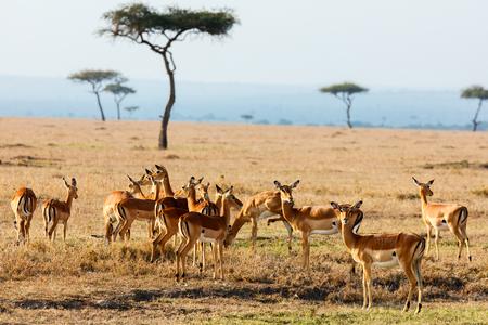 Group of impala antelopes in Masai Mara safari park in Kenya