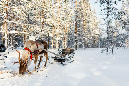 Reindeer in a winter forest in Finnish Lapland Stok Fotoğraf