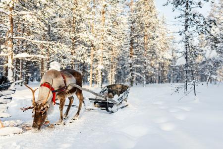 Reindeer in a winter forest in Finnish Lapland Standard-Bild