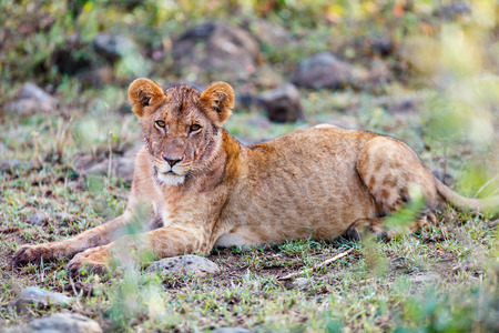 Young lion in national reserve in Kenya Stock Photo