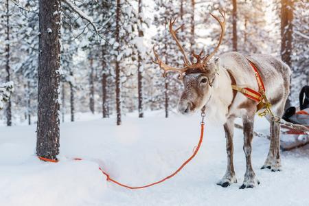 フィンランドラップランドの冬の森のトナカイ 写真素材