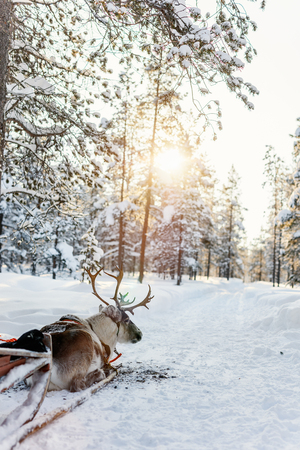 Reindeer in a winter forest in Finnish Lapland Stock Photo