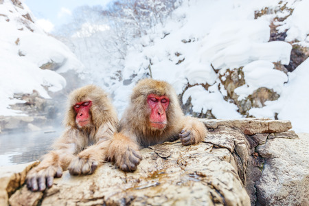 Snow Monkeys Japanese Macaques bathe in onsen hot springs of Nagano, Japan 스톡 콘텐츠