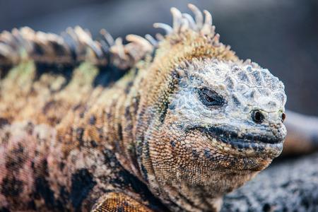 Ritratto dell'iguana marina maschio, endemico delle isole Galapagos, Ecuador Archivio Fotografico - 88497827