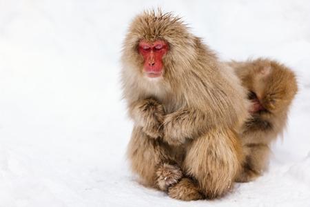 長野県の冬で雪の雪猿ニホンザル 写真素材