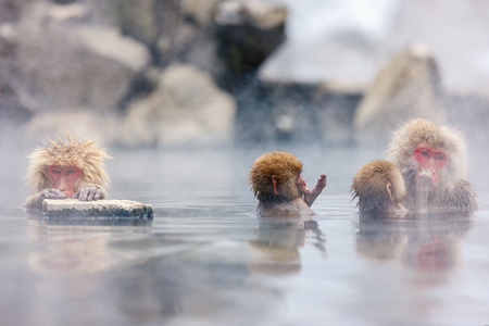 Snow Monkey Japanese Macaques bathe in onsen hot springs at Nagano, Japan Reklamní fotografie