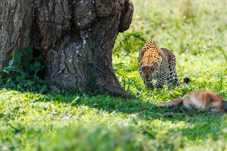 タンザニアで殺されたアンテロープのヒョウ 写真素材