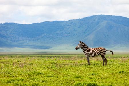 Zebra in Ngorongoro conservation area, Tanzania Stock Photo