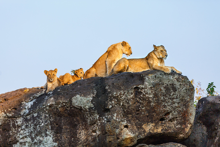 Lion family on rocks in national reserve in Kenya Stock Photo