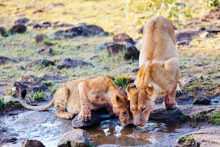 Close up lions mother and her cub drinking water in Masai Mara national reserve in Kenya Stock Photo