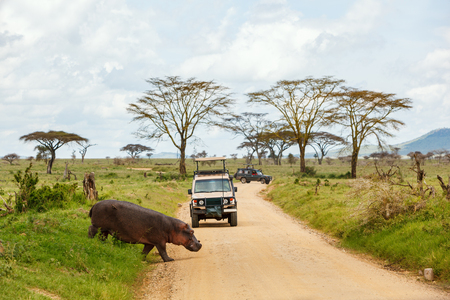 Safari cars on game drive with hippo crossing road Stockfoto