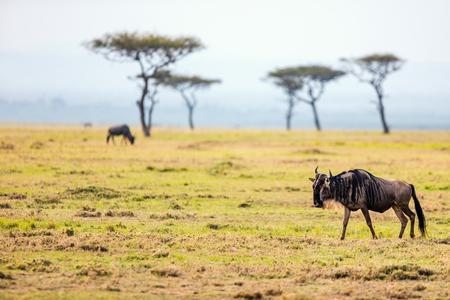 케냐의 마사이 마라 국립 공원에있는 Wildebeests 스톡 콘텐츠