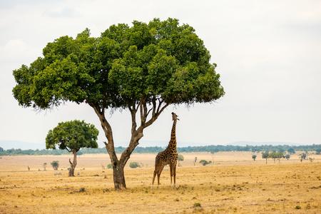 Giraffe in Masai Mara safari park in Kenya Africa 版權商用圖片