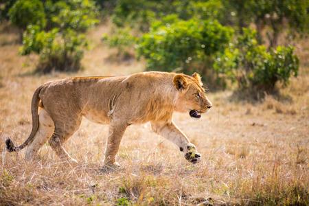 Vrouwelijke leeuw in nationale reserve in Kenia Stockfoto