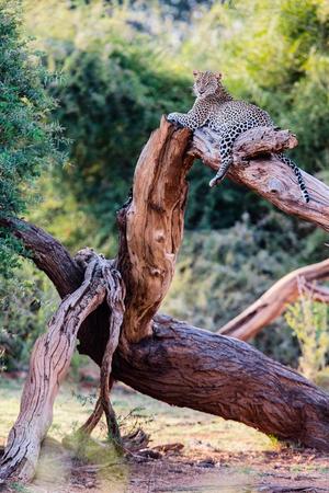 Beautiful male leopard on a tree in Kenya Africa Фото со стока