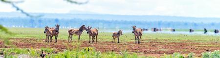 Panorama of zebras in Ngorongoro conservation area, Tanzania