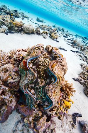 美しいサンゴ礁と青色の巨大なハマグリ アイツタキ クック諸島の水中
