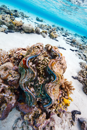Beautiful coral reef and a giant blue clam underwater in Aitutaki Cook islands