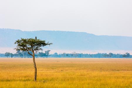 Beautiful landscape of Masai Mara at sunrise with acacia tree