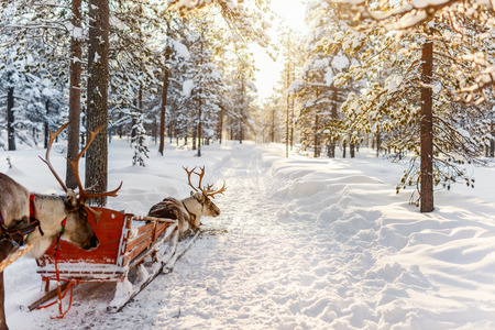 Reindeer safari in a winter forest in Finnish Lapland