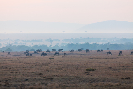 Wildebeests early morning in Masai Mara Kenya