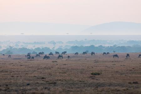 Wildebeests vroege ochtend in Masai Mara Kenia