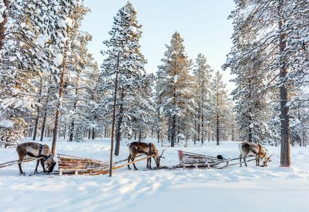 フィンランドのラップランドで冬の森のトナカイ サファリ