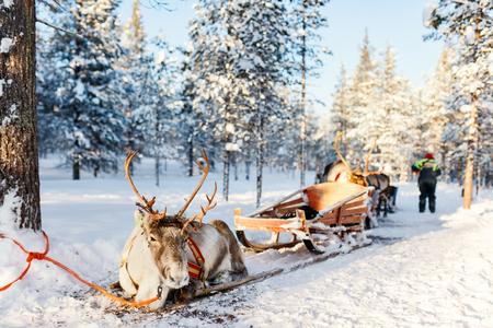 フィンランドラップランドの冬の森のトナカイサファリ 写真素材