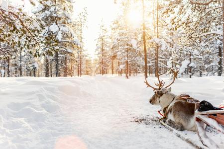 핀란드 라플란드의 겨울 숲에서 사슴 사파리 스톡 콘텐츠